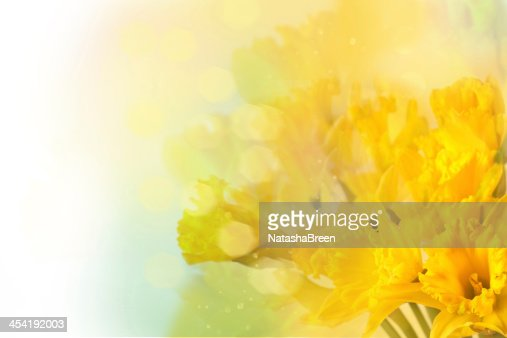 yellow daffodils : Foto de stock