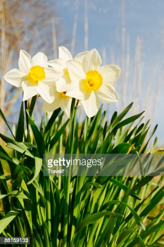 Yellow daffodils : Stock Photo