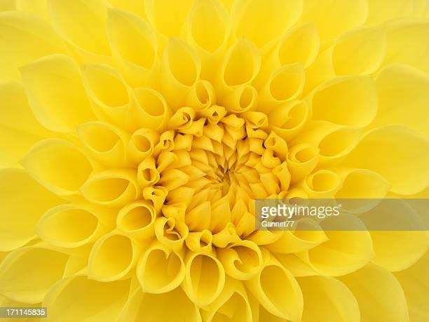 Yellow Dahlia Flower Close Up