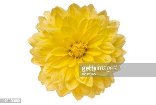Yellow Dahlia on white
