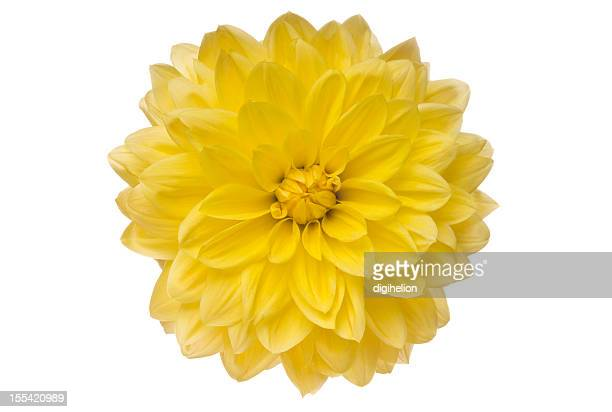 Yellow Dahlia on white