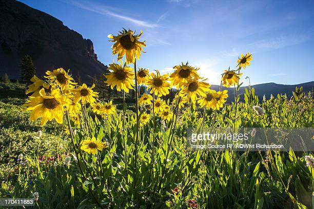 Yellow daisies growing in rural landscape