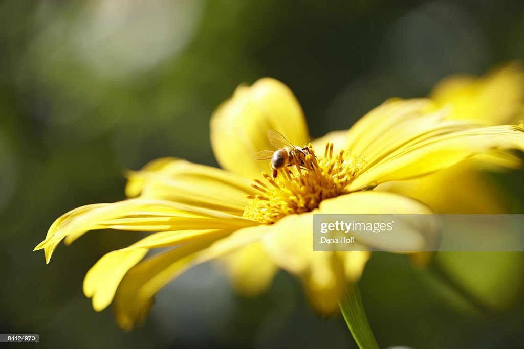 yellow daisy flowers attract honey bees blue sky : Stock Photo