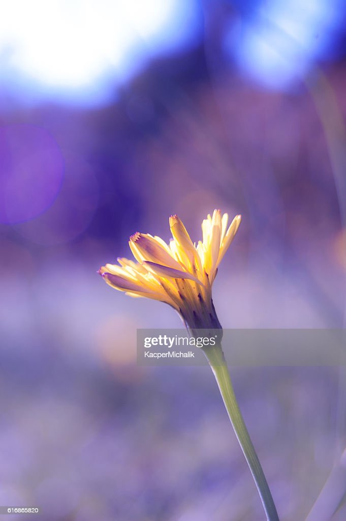 Yellow daisy in purple light : Stock Photo