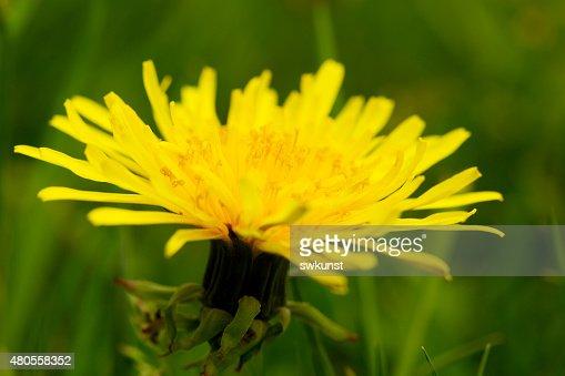 Yellow dandelion flower . : Stock Photo