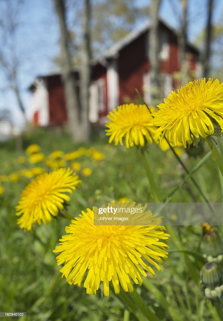 Yellow dandelion flowers, close-up : Stock Photo