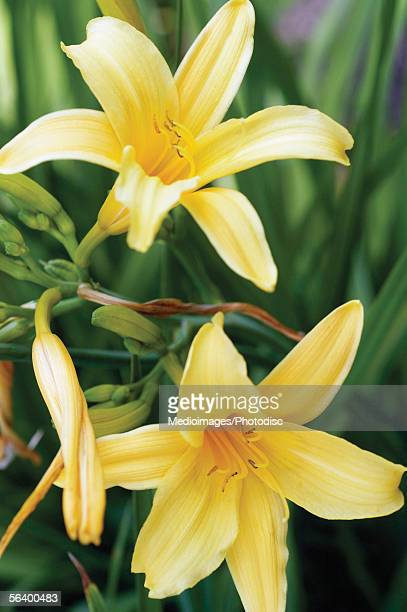 Yellow Daylily, close-up