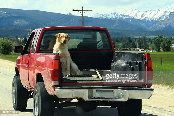 A yellow dog rides in the back of a pick up truck as his owner drives down a Montana highway