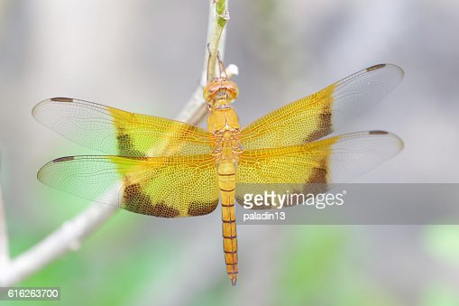 Yellow dragonfly : Stock Photo