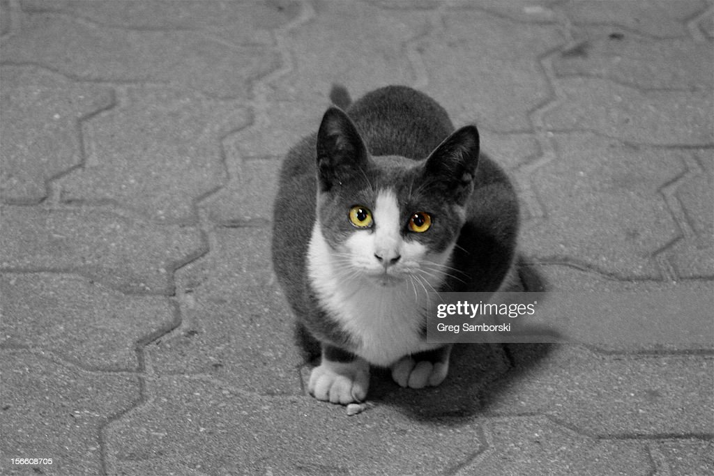 Yellow Eyed Cat : Stock Photo