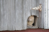 A yellow farm cat is peeking out from inside his hiding place in a barn, through a chewed out hole in a door.