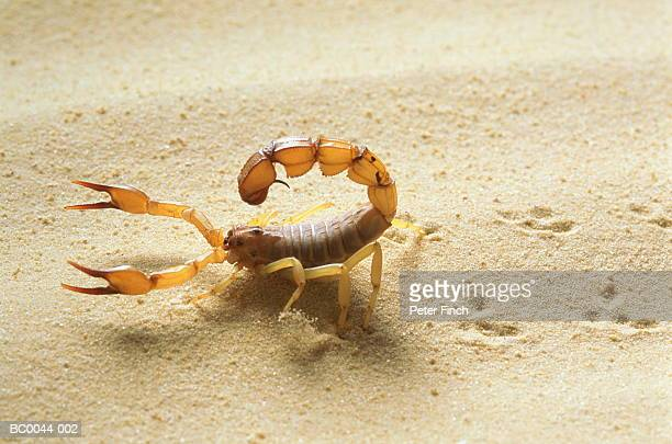 Yellow fat tail scorpion (Androctonus australis), close-up