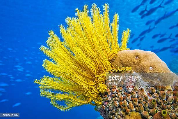 Yellow Feather star ( Crinoid ) - Sea lily
