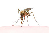 Yellow Fever, Malaria or Zika Virus Infected Mosquito Insect Bite Isolated on White