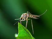Macro Photo of Yellow Fever, Malaria or Zika Virus Infection - Mosquito Insect on Leaf
