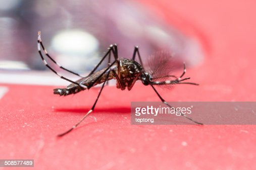 Yellow fever mosquito : Stock Photo