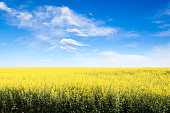 Rows of yellow canola field in Alberta against a blue sky with copy space.