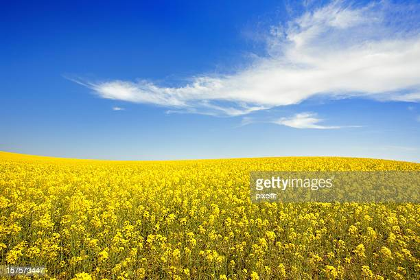 Yellow field and sky