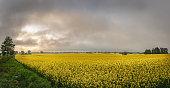 Yellow field of rape flowers, cole.