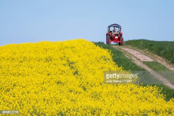 Yellow field of rapeseed flowers