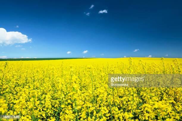 Campo amarelo