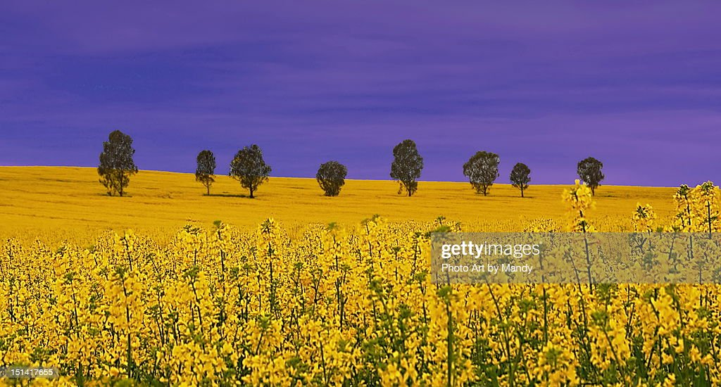 Yellow fields : Stock Photo