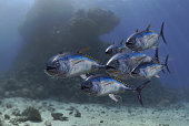 Yellow fin tuna fish school under the sea swimming together 3d render