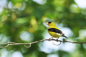 A yellow finch perched on a tree branch