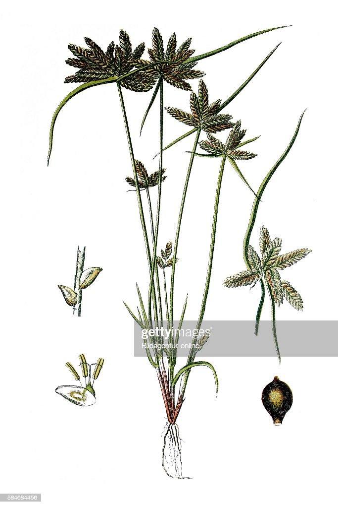 Yellow Flatsedge Cyperus flavescens