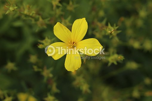 Yellow flax flower linum flavum stock photo thinkstock yellow flax flower linum flavum stock photo mightylinksfo