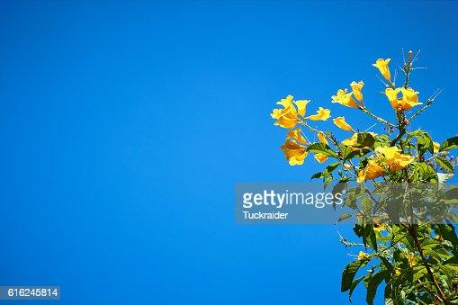 Flor amarela e azul céu : Foto de stock