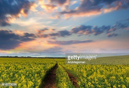 yellow flower field : Stockfoto