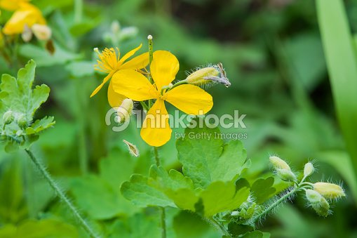 Yellow Flower Medicinal Plants Celandine Chelidonium On A Background