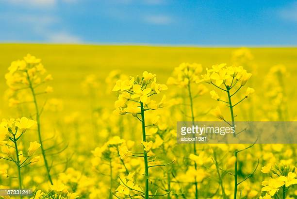 Flor de Estupro amarelo, grande plano
