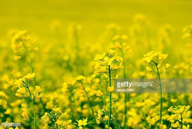 yellow flower of rape