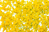 Yellow flower on Isolated white background, Javanese cassia flowers is from Thailand