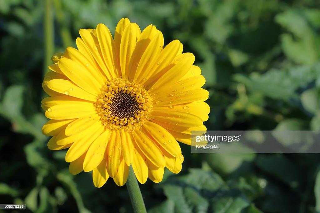 Gelbe flower : Stock-Foto