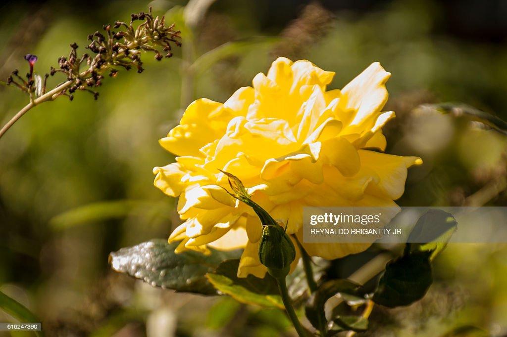 Amarillo flor  : Foto de stock