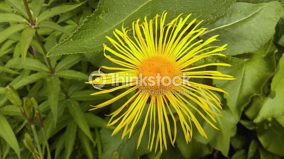 Yellow flower thin petal stock photo thinkstock yellow flower thin petal stock photo mightylinksfo
