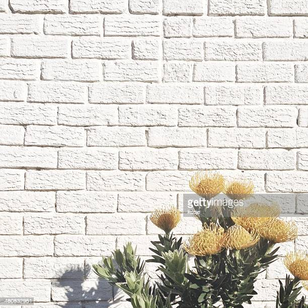 Yellow flowers against white brick wall