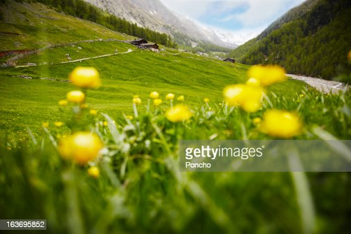 yellow flowers and green meadow at a farm in the m : Stock Photo
