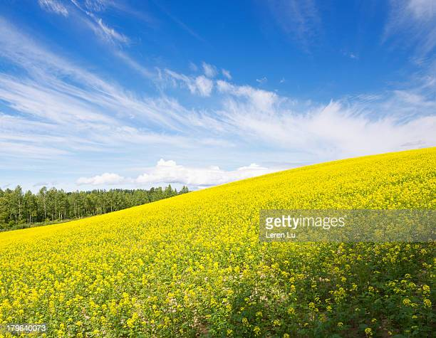Yellow flowers blooming luxuriantly on hill