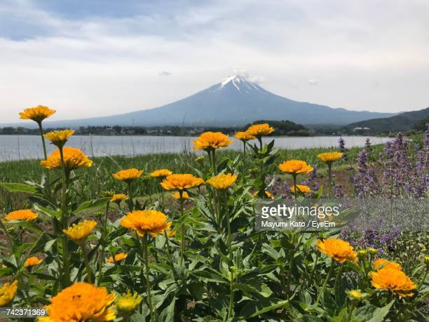 Yellow Flowers Blooming On Field By Lake Against Sky