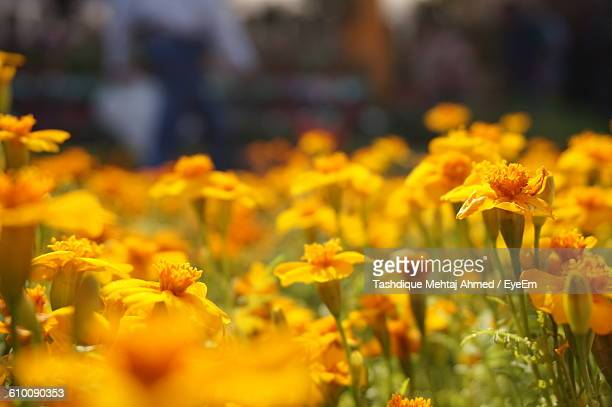 Yellow Flowers Blooming On Field