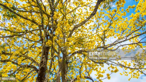Yellow Flowers Blooming On Golden Trumpet Tree