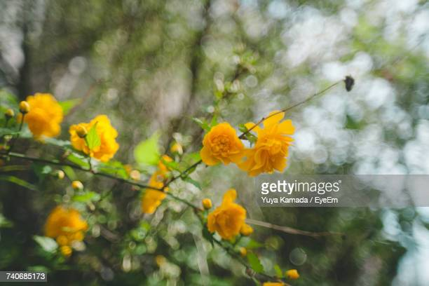 Yellow Flowers Blooming On Tree