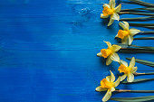 Yellow flowers daffodils on blue wooden table. Beautiful Colorful Greeting Card for Mothers Day, Birthday, March 8. Top view, . Horizontal Image With Copy Space