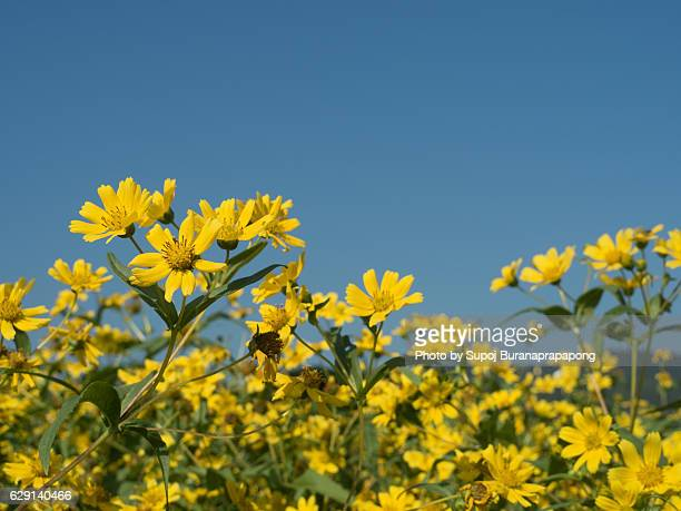 Yellow flowers garden under clear blue sky