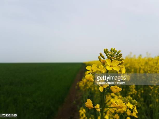 Yellow Flowers Growing In Field Against Clear Sky