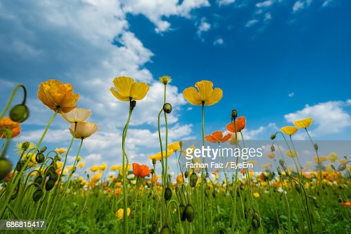 Yellow Flowers Growing On Field Against Blue Sky